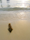 Seaweed on beach, sunset. Still life of bown seaweed on tropical sandy beach at sunset.  Serene and calm in pale golden evening light.  Composed with space for Royalty Free Stock Image