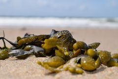 Seaweed on the beach. In Vlissingen, The Netherlands Stock Photos