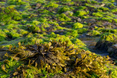 Seaweed on the beach Royalty Free Stock Photos