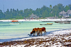 Seaweed beach    zanzibar  cow Royalty Free Stock Photos