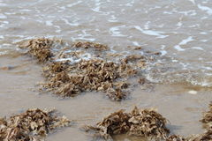 Seaweed being brought in by the tide. A heap of beige coloured seaweed being washed up on a beach Royalty Free Stock Images