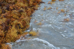 Seaweed Being Washed Up on the Beach. In Matagorda, Texas Stock Images