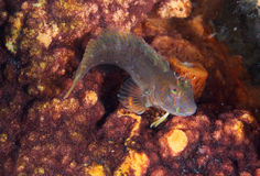 Seaweed Blenny Royalty Free Stock Images