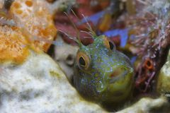 Seaweed Blenny. In his lil hidee-hole Royalty Free Stock Photos