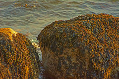 Seaweed Boulders Royalty Free Stock Images