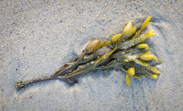 Seaweed Bouque Stock Photo