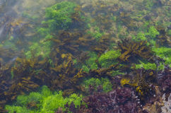 Seaweed. Brightly colored green, yellow/brown and purple seaweed in shallow water Royalty Free Stock Photo
