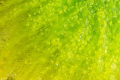 Seaweed with bubbles Stock Photography