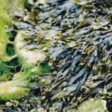 Seaweed clawing the rocks Stock Images