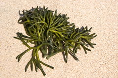 Seaweed Royalty Free Stock Photography