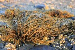 Seaweed closeup in Maine at dawn Royalty Free Stock Photos