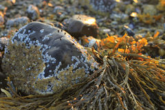 Seaweed closeup in Maine at dawn among rocks and barnacles Stock Photography