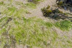 Seaweed Stock Photos