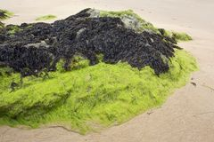 Seaweed Royalty Free Stock Photos