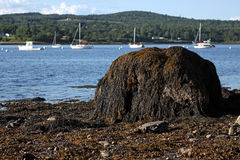 Seaweed covered boulder on the coast of Maine Royalty Free Stock Photos