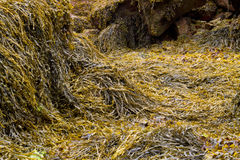 Seaweed covered Royalty Free Stock Photography