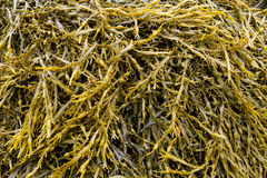 Seaweed covered Stock Photography