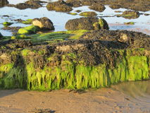 Seaweed covered rocks Stock Image