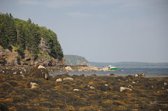 Seaweed covered rocky coast. Seaweed on rocks of a Maine inlet in the morning Royalty Free Stock Photo