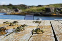8 seaweed Crabs on the bridge. royalty free stock images