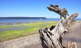 seaweed driftwood пляжа Стоковые Изображения