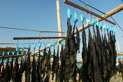 Seaweed drying in the sun on the beach Stock Image
