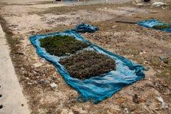 Seaweed drying in the sun, Nusa Lembongan, Indonesia. Indonesian style seaweed drying in the sun. Nusa Lembongan, Indonesia Stock Images