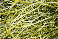 Seaweed of family a fucus (Fucaceae). On seacoast Stock Images