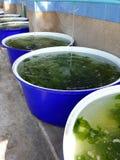 Seaweed farm Royalty Free Stock Image