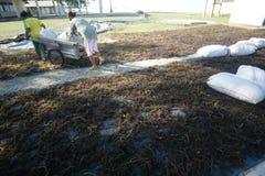 Seaweed farmer Royalty Free Stock Images