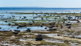 Seaweed farming at low tide on the Nusa Lembongan island Royalty Free Stock Photo