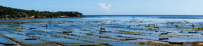Seaweed farming at low tide on the Nusa Lembongan island Royalty Free Stock Photography