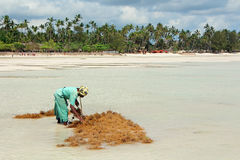 Seaweed farming - Zanzibar Royalty Free Stock Images