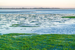 Seaweed field on Waddensea wetlands, Netherlands Stock Photography