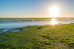 Seaweed field on Waddensea wetlands, Netherlands Stock Images