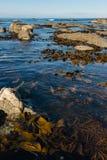 Seaweed floating in ocean Royalty Free Stock Images