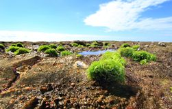 Seaweed growing on rocks. A clump of green seaweed growing on rocks on the shoreline at low tide Stock Photos