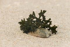 Seaweed growing on shell Stock Photo
