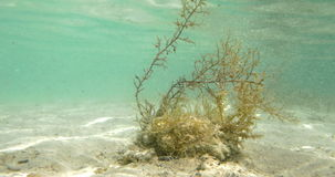 Seaweed Growing Underwater. Underwater shot of a water plant brightly lit with sun stock video footage
