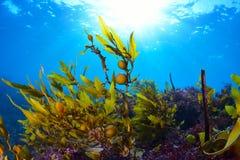 Seaweed. Grows up towards the sun Stock Image