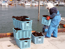 Seaweed harvest Stock Images