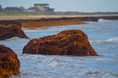 Seaweed Island. On the beach in Matagorda, Texas Royalty Free Stock Image
