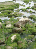 Seaweed and kelp Royalty Free Stock Photo