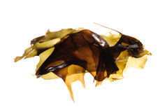 Seaweed kelp Royalty Free Stock Photos