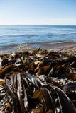 Seaweed kelp is on the seashore Stock Image