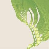 Seaweed (kelp) Stock Photos