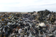 Seaweed at low tide close up Royalty Free Stock Photo