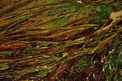 Seaweed Royalty Free Stock Photography