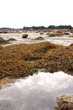 Seaweed at low tide sea Stock Image