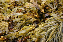 Seaweed. A mix of different types and textures of seaweed Royalty Free Stock Images